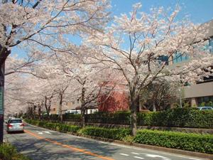 Spring in Yokohama Cherry Blossom